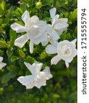 White Gardenia Bush In Full...