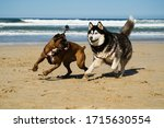 Boxer And Husky Playing At Beach