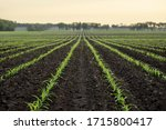 corn field in defocus. natural... | Shutterstock . vector #1715800417