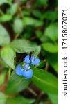Small photo of Beautiful Commelina Cyanea flower photo