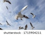 Seagull Flying In Sky. A Flock...