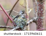 A Female Hummingbird Patching...