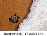 Cute Newborn Baby Sea Turtle Of ...