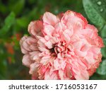 the beautiful roses   Shutterstock . vector #1716053167