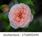 the beautiful roses    Shutterstock . vector #1716053194