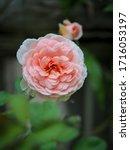 the beautiful roses    Shutterstock . vector #1716053197