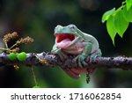 Australian white tree frog...