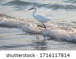 Closeup Of One Snowy Egret...