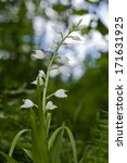 Small photo of White Helleborine (Cephalanthera damasonium)