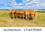 Cow herd on cow farm photo