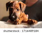 Redcoat terrier puppy with sad eyes