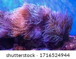 Sea Anemones Under Current In...