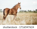 Portrait Of A Foal Out On A...