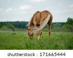Palomino Horse Grazing In The...