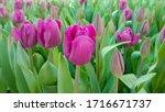 Magenta Tulips Against Green...