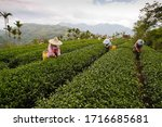 Small photo of A bevy of female worker were picking tea in the tea garden,Taiwan