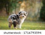 Puppy Australian Shepherd Plays....