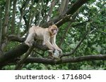 barbary macaques prowling monkey | Shutterstock . vector #1716804