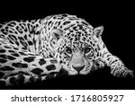 Jaguar With A Black Background...
