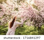 Blooming Apple Orchard. A Whit...
