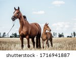 Beautiful Chestnut Mare With A...