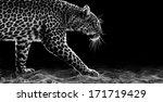 leopard stalking | Shutterstock . vector #171719429