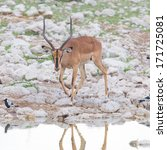 Small photo of Male black-faced impala (Aepyceros melampus petersi), Namibia
