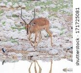 Small photo of Male black-faced impala (Aepyceros melampus petersi), Namibia