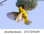 Southern Yellow Masked Weaver...