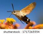 Hummingbird Hawk Moth Flies...