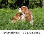 cute cavalier king charles... | Shutterstock . vector #1717353451