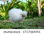Fancy Silkie Chicken In Farm ...