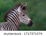 Portrait Of A Young Zebra In...
