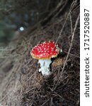 Small photo of The Amanita Muscaria, arguably the most iconic toadstool species.