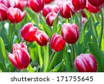 colorful tulips. | Shutterstock . vector #171755645