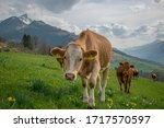 Beautiful Swiss Cows. Alpine...