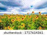 Sunflower Field Nature Scene...