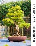 A Specimen Japanese White Pine...