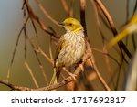 Yellow Plumed Honeyeater ...