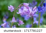 Unusual Pink Bluebell Amongst...