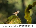 Crested Tit Perched On A Moss...