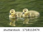 Two Cute Canada Geese Goslings  ...