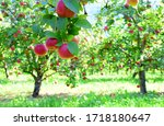Apple Meadow With Apple Trees...