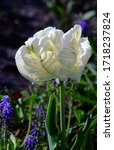 White Parrot Tulip With A Gree...