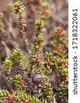 Small photo of A flowering crowberry (Empetrum nigrum) plant. A crowberry shrub with tiny flowers.