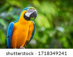 Blue And Yellow Macaw Closeup ...