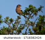 Male Chaffinch Perched On A...