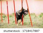 German Shepherd Dog doing agility - running slalom. Agility slalom. Training Of Purebred Adult Alsatian Wolf Dog.