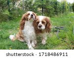 two cute cavalier king charles... | Shutterstock . vector #1718486911