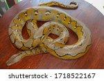 Albino Reticulated Python  ...